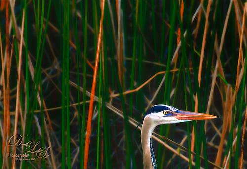 Image of a Blue Heron at the Viera Wetlands