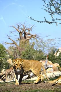 Leona en la Sabana africana de Bioparc Valencia