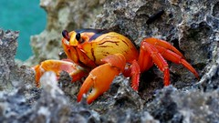 ocypodidae(0.0), food(0.0), crab(1.0), animal(1.0), crustacean(1.0), seafood(1.0), marine biology(1.0), invertebrate(1.0), macro photography(1.0), fauna(1.0), close-up(1.0), wildlife(1.0),