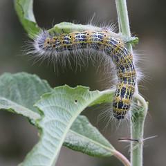 Bufftip moth (Phalera bucephala) Larva 1