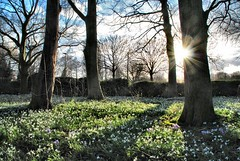 Snowdrops, Abbey Park, Leicester