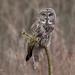 Great Grey Owl by Rita Ivanauskas