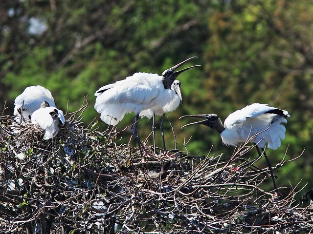 Wood Storks nesting 20150212