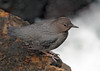 American Dipper (Cinclus mexicanus) by Ron Wolf