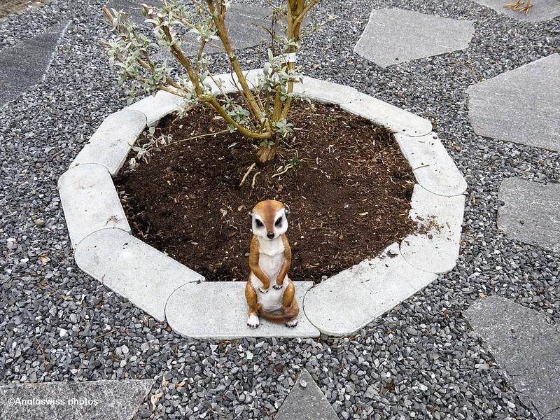 Meercat in garden