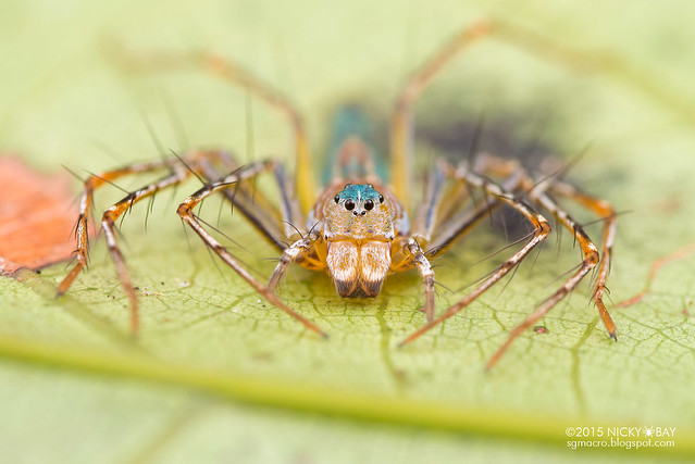 Lynx spider (Hamadruas sp.) - DSC_4029