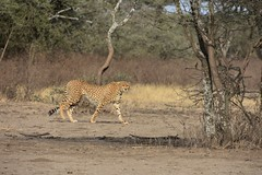 Cheetah in the Ngorongoro Conservation Area (2)