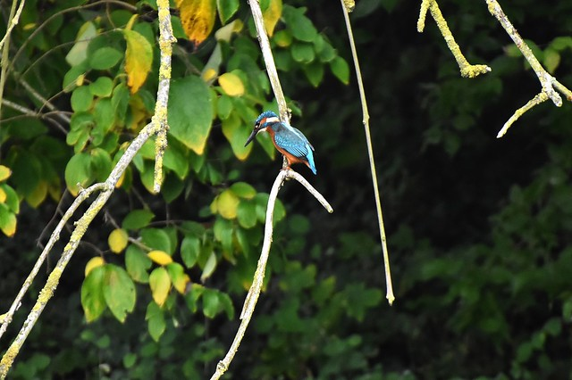 Kingfisher in concentration....
