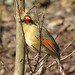 Female Cardinal by Trish Overton