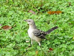 Mockingbird is almost always, enthusiastic!