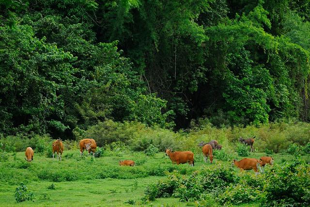 Banteng, Bos javanicus & Sambar deer, Rusa unicolor in Huai Kha Khaeng wildlife sanctuary