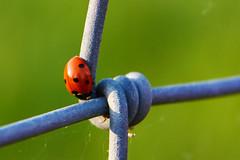 animal, ladybird, nature, invertebrate, insect, macro photography, green, fauna, close-up,