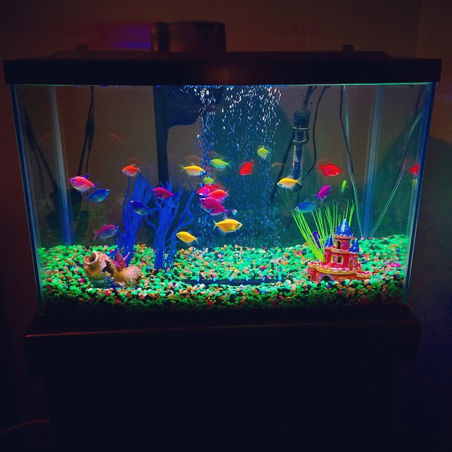 The perks of working for a pet company... I brought home a GloFish tank and a bunch of fish! Yes these fish actually glow under black light. #GloFish #Tetra #Fish #Aquarium