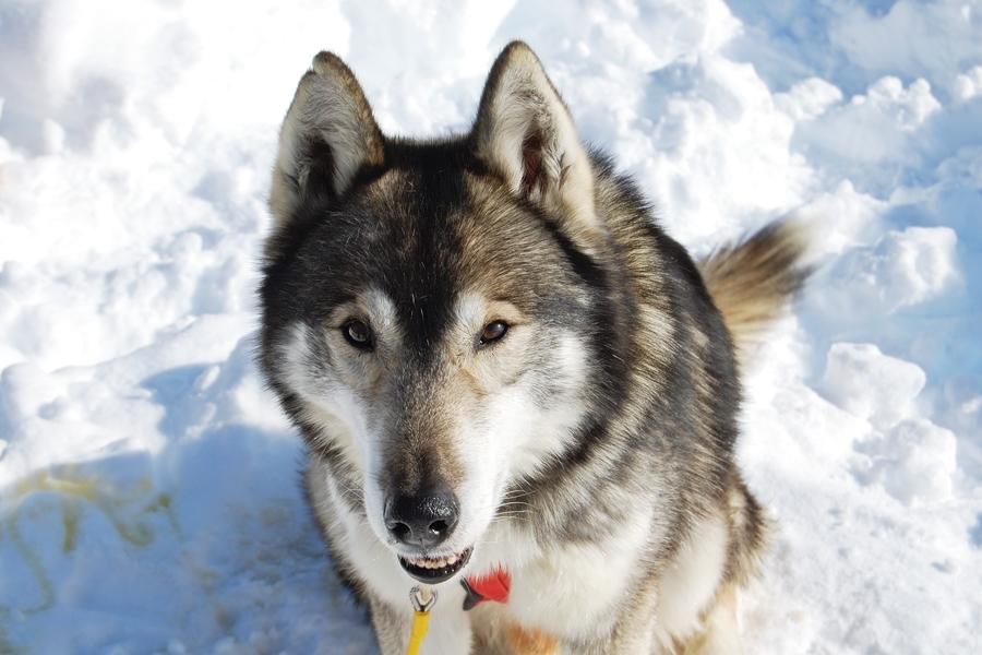 Balade chiens de traineau chiens de traineau (13)