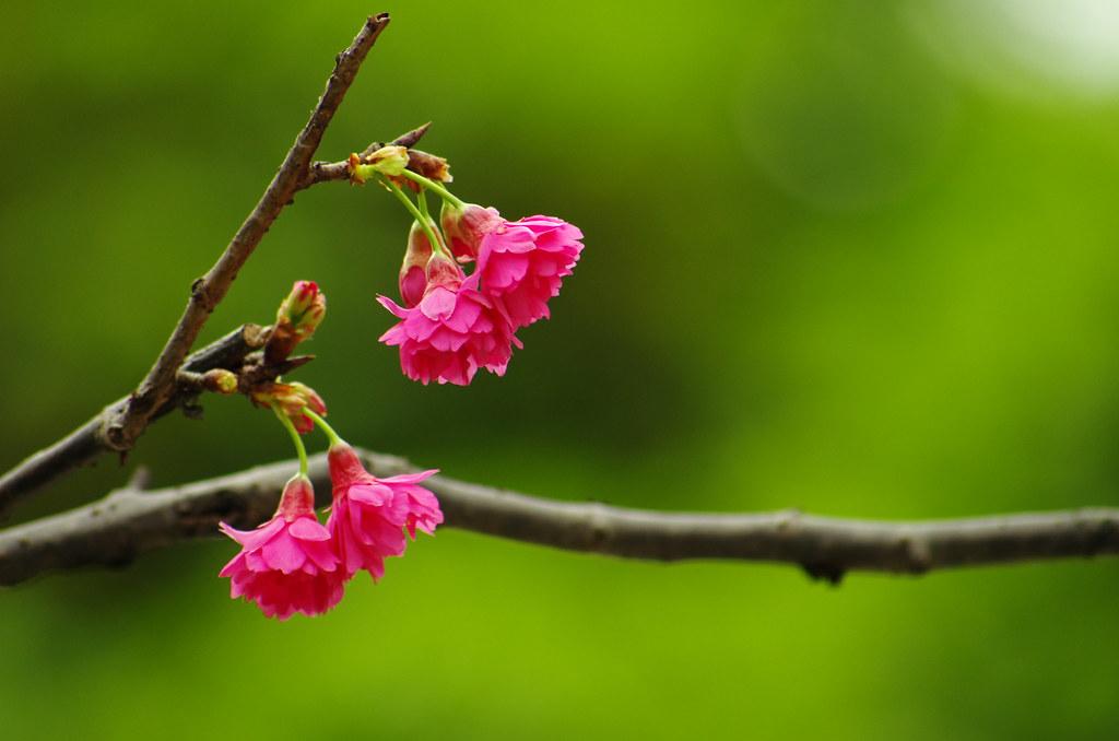 板橋的櫻花