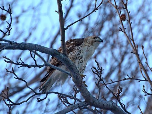 North Woods Hawk - 5654