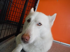 dog breed, animal, dog, pet, kishu, carnivoran,