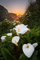 Calla Lilies at Doud Creek - Big Sur, CA