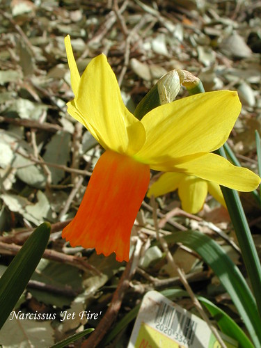 Narcissus 'Jet Fire'