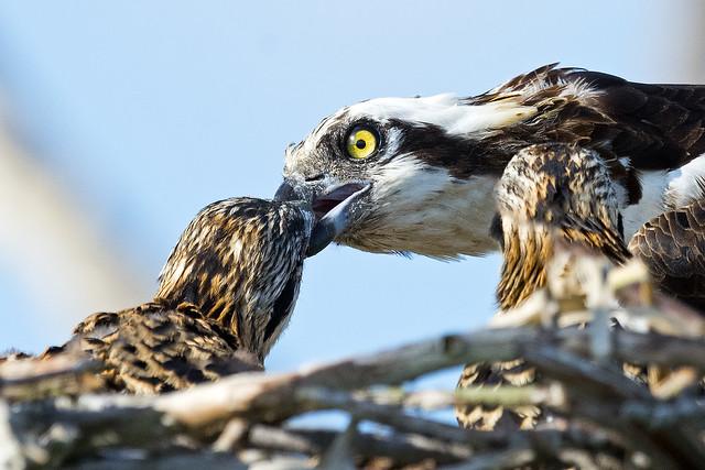 Osprey feeding Chicks
