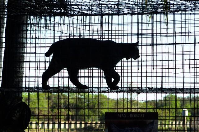 Bobcat Silhouette