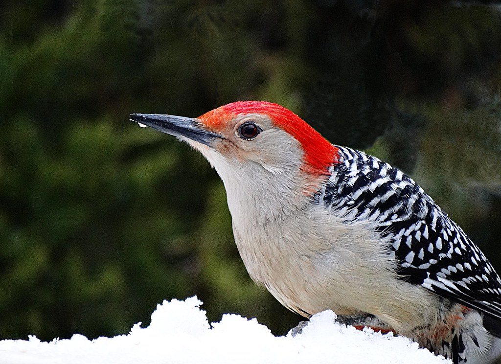 Red-bellied Woodpecker on Snow