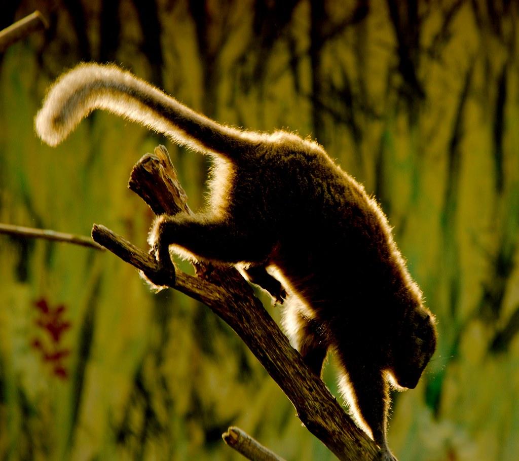 Alaotran gentle lemur (Hapalemur alaotrensis)_1