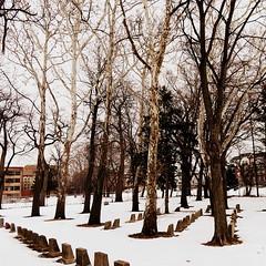 Cemetery sycamores