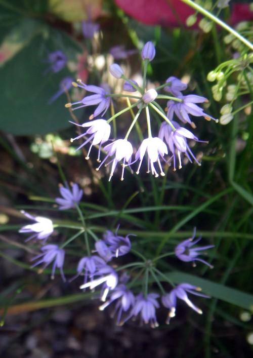 Allium cyaneum 16027838595_38f4101590_o
