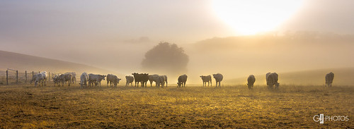 orange yellow fog sunrise countryside cows farm country panoramic livestock