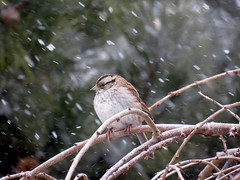 snowing on the sparrow