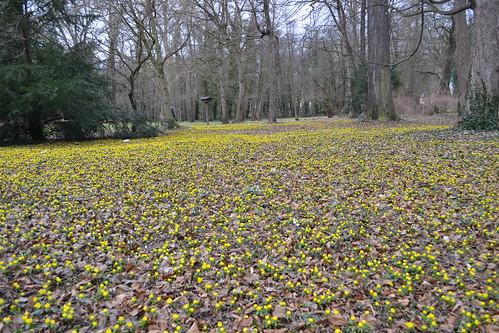 Winterlinge im Schlosspark von Ostrau