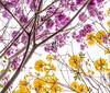 Roble de Sabana &  Golden Trumpet-tree