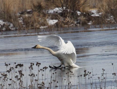 """Tundra Swan"" ""Cygnus columbianus"""