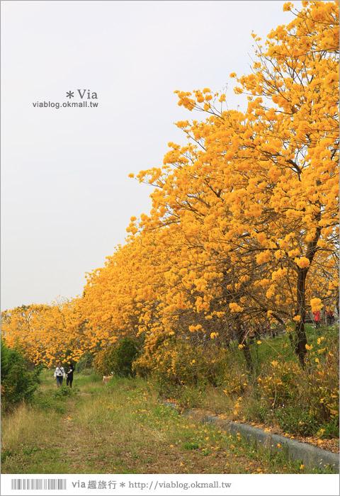 【嘉義景點】嘉義軍輝橋黃金風鈴木~全台最美的堤防!開滿滿的風鈴木美炸了!25