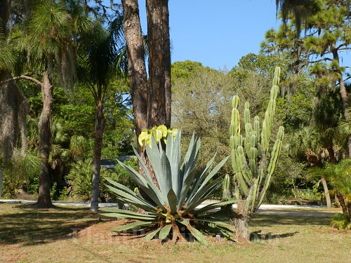 agave and cereus cactus