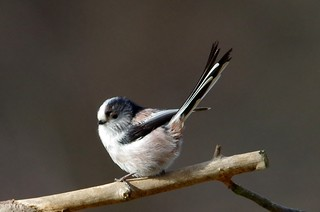 IMGP5205 Long-Tailed Tit, The Lodge, Sandy, February 2015