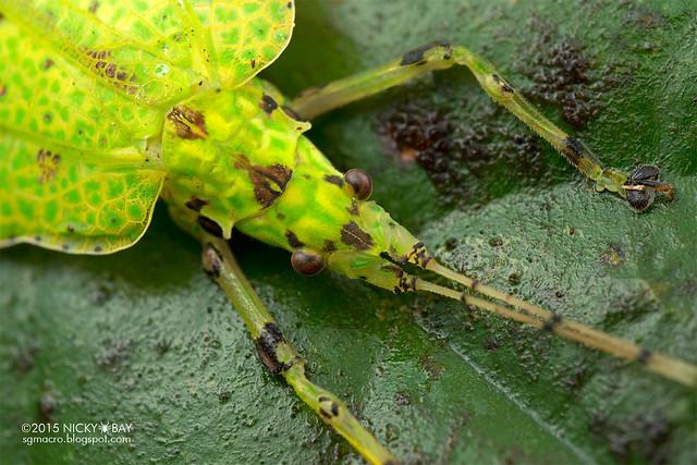 Katydid (Tettigoniidae) - DSC_2950