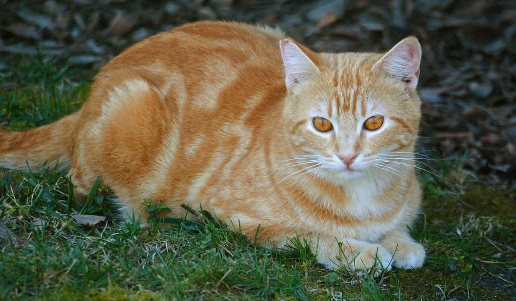 Very Orange Tabby Cat