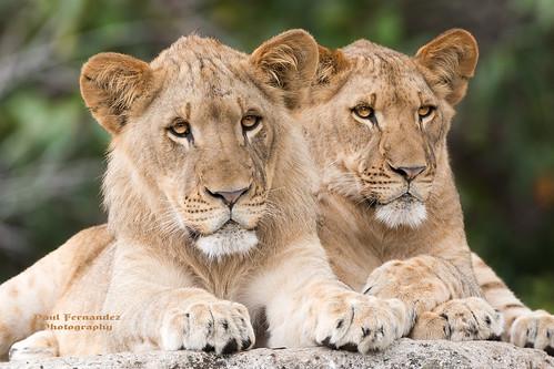 africanlion lionafrican lioncub lion cub kashifa zoomiami miamizoo miamimetrozoo miami metrozoo zoo florida ngc