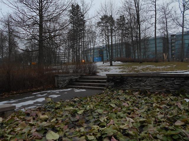 Poikkeuksellisen aikaisen kevään ja sulamisen erikoisilmiöitä: paljastunutta perennaryhmää Espoon Leppävaarassa 26.2.2015