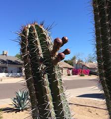 cactusbloom