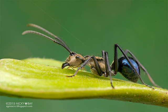 Golden blue ant (Polyrhachis sp.) - DSC_3429