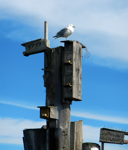 Seagull guarding the pilings where the Victoria Harbour Ferry comes into dock