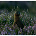 Red Grouse in the Lammermuirs by rdtoward21