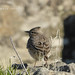 ALONDRA - LARK BIRD - ALOUETTE  / VOLUBILIS