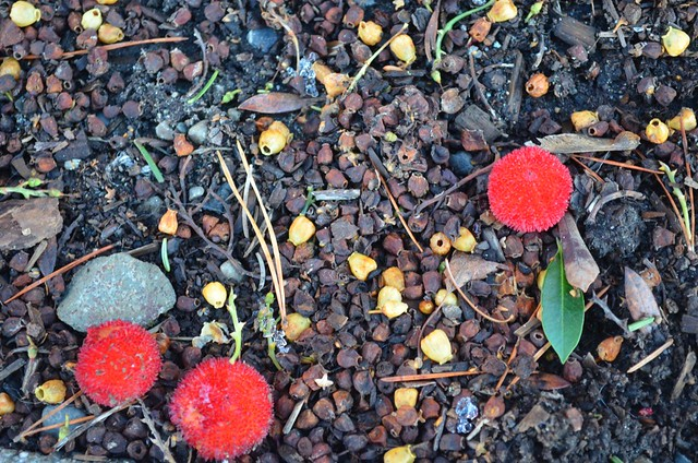 Arbutus on the ground