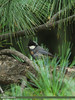 Spot-winged Tit (Periparus melanolophus)