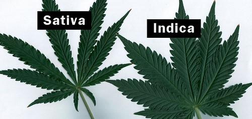 indica-vs-sativa-06-191-720x340