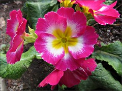 Pink and white polyanthus